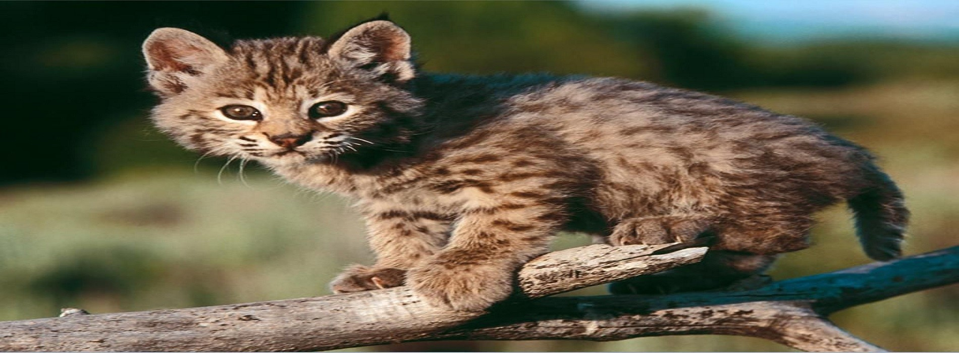 Wildcat Kitten